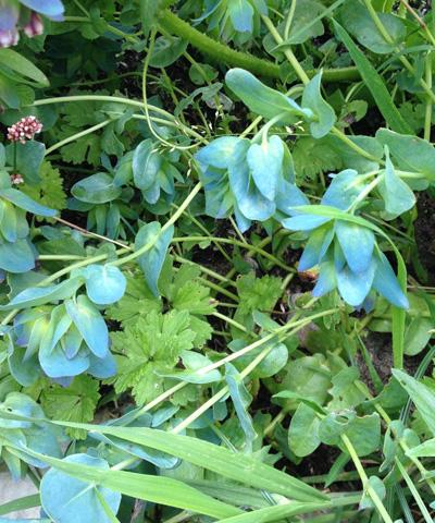 Honeywort