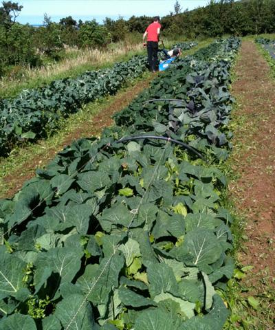 cabbage-field