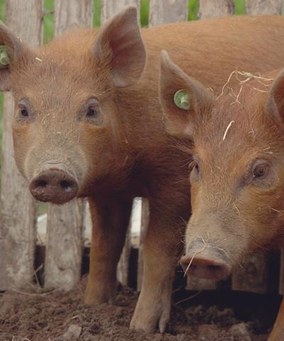 farm-pigs