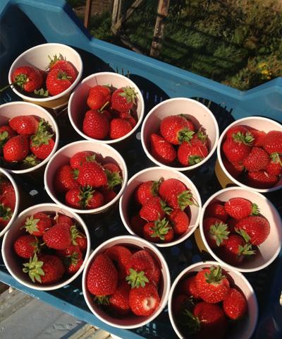 strawberries_frpg